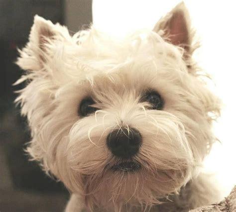 trim cairn terrier face 17 best images about east coast westie on pinterest