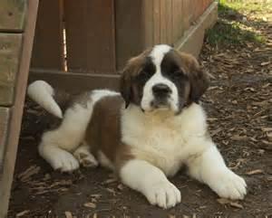 st bernard puppies puppy dog gallery