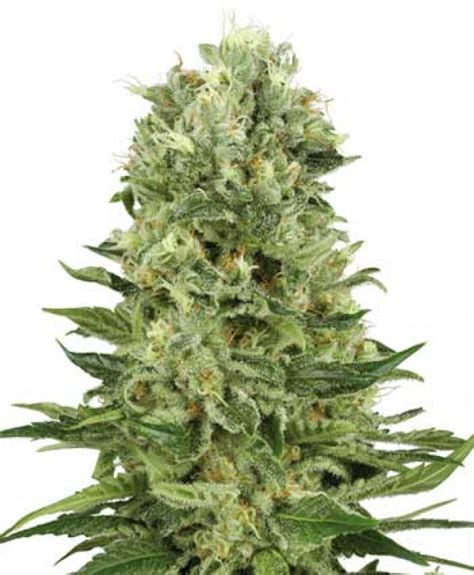 best seed company skunk 1 automatic feminised seeds white label