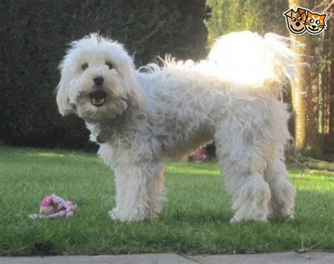 rosedale doodles puppies for sale f1b miniature labradoodle puppies for sale