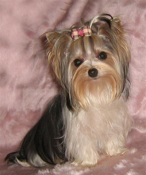 tea cup yorkie hair cuts 17 best images about yorkies on pinterest yorkie puppies