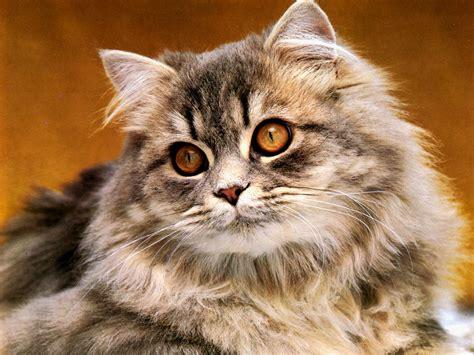 imagenes wallpapers gatos fondo de pantalla gato observando 1024x768 fondo de