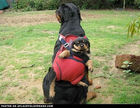 rottweiler accessories 34 best images about rottweiler accessories on plays your and pets
