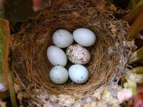 house finch eggs color house finch eggs color house sparrow eggs picture 10