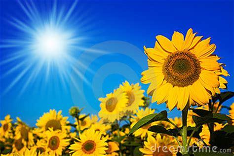 imagenes girasoles hermosos girasoles hermosos fotograf 237 a de archivo libre de regal 237 as