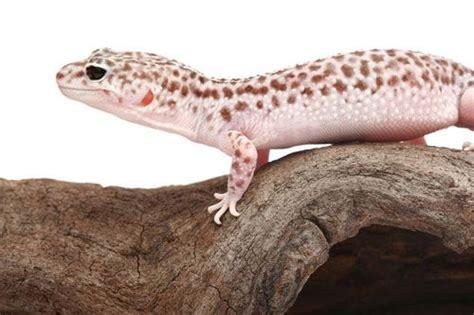 leopard gecko heat l 27 best images about leopard gecko on pinterest