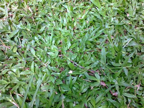 Rumput Swiss By Tukang Rumput tukang rumput tukang tanam rumput tukang rumput taman