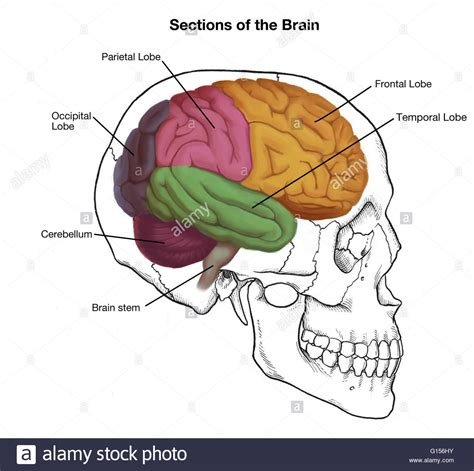 brain sections labeled illustration of a human skull and brain with important