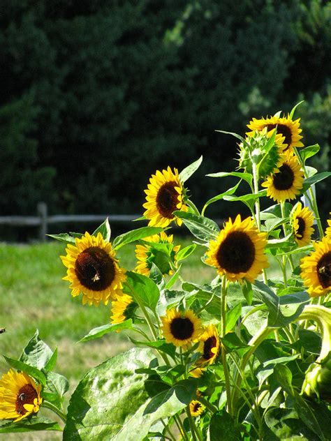 sunflower patch sunflower patch photograph by debra vatalaro