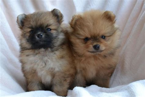 pomeranian puppies maine new elite pomeranian puppy for sale from europe in excellent breed type
