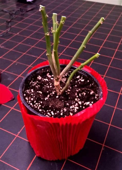 Entretien Du Poinsettia les mains vertes entretien du poinsettia ou