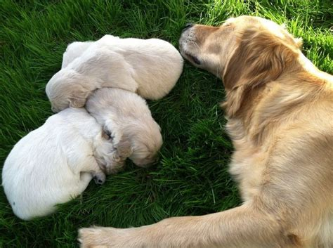 wingstar golden retrievers 1000 images about wingstar golden retrievers on golden retriever puppies