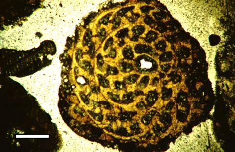 foraminifera thin section wiki foraminifera upcscavenger