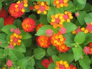 lantana colors lantana multi colored with leaves resized