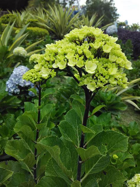 Bunga Hias Hydrangea hydrangea hortensia bunga bokor kembang seribu