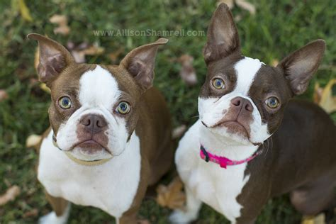 how much are boston terrier puppies barley the boston terriers photos san diego pet photographer allison