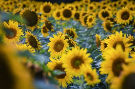 sunflower field in kansas sunflower field ted duboise lawrence family grows sunflowers and fun kansas living