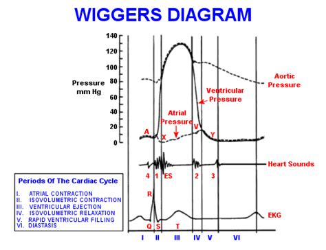 Unlabeled Wiggers Diagram