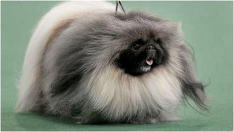 pekingese puppies price pekingese facts pictures puppies information price temperament animals adda