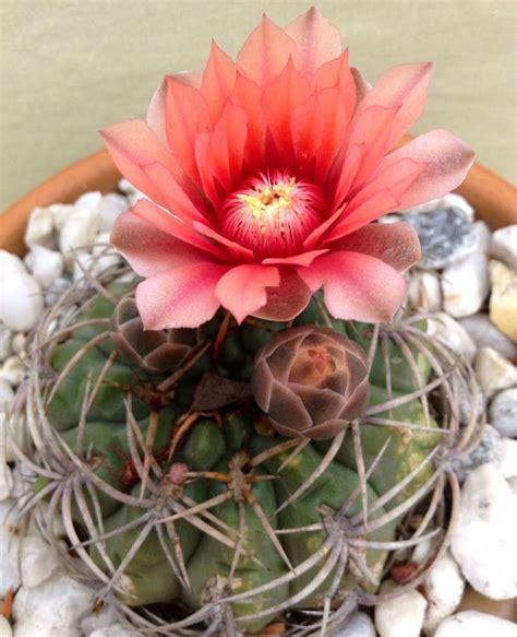 25 b 228 sta cactus names id 233 erna p 229 pinterest kaktusar och suckulenter suckulenter och