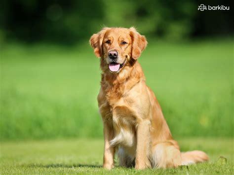 golden retriever pelo diferencias entre un labrador y un golden barkibu es