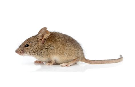 house mouse mice removal exterminate poison thunder