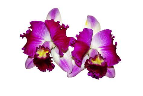 orchideen gestell ilustraci 243 n gratis orqu 237 deas flores imagen gratis en