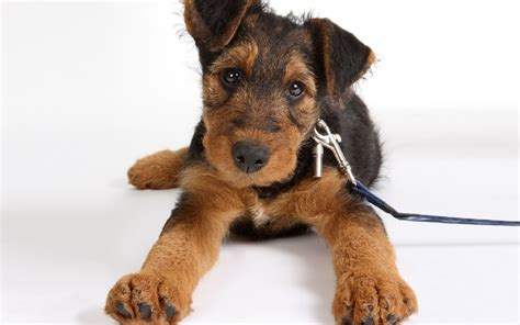 Airedale Terrier - Pictures, Diet, Breeding, Life Cycle ...