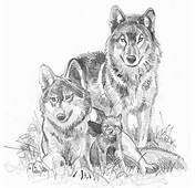 Wolf Pencil Flickr Photo Sharing