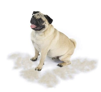 Non Shedding Pug by Here S Help For Winning The Battle Of Pet Hair In The Home