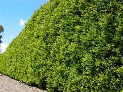 castlewellan gold conifer   plants garden