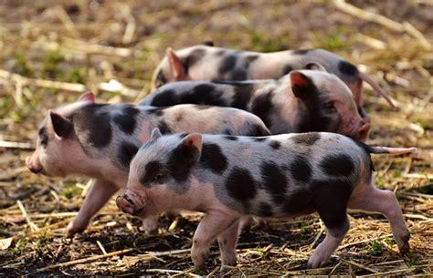 raising backyard pigs 7 common myths about raising backyard pigs off the grid news