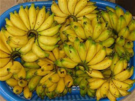 Jual Bibit Pisang Cavendish Jawa Timur tanaman buah pisang cavendish daftar harga terkini dan