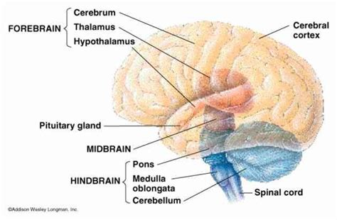 three main sections of the brain uncategorized psychological study