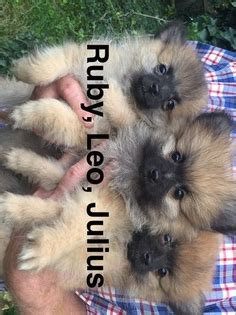 pomeranian for sale in nj view ad pomeranian puppy for sale new jersey medford usa