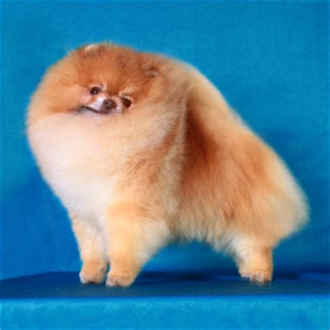 pomeranian mating 29 basics 1 creating your own bloodline canton pomeranians