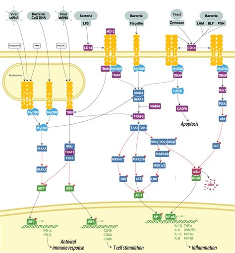 pattern recognition receptors youtube toll like receptor signaling pathway immunology pinterest