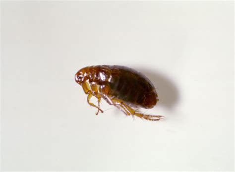 what does a flea look like on a fleas 101 information on types of fleas flea