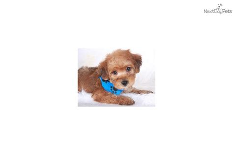 apricot yorkie poo meet rosie a yorkiepoo yorkie poo puppy for sale for 695 registered f1