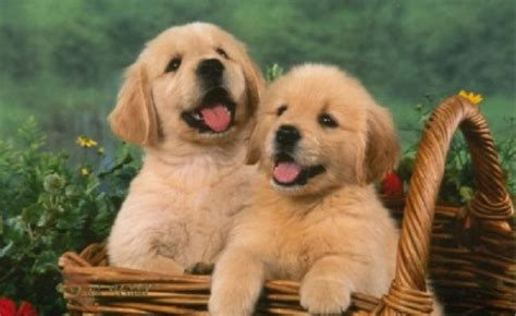 golden retriever indiana golden retriever puppies for sale in indiana zoe fans baby animals