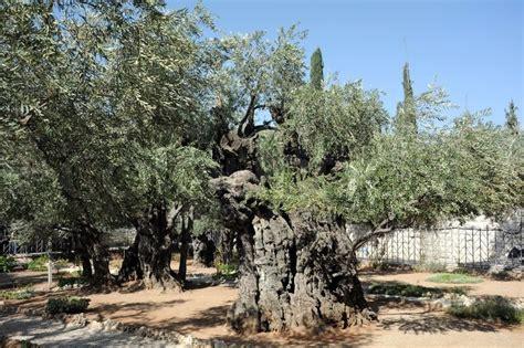 garten getsemane uralte olivenb 228 ume im garten gethsemane in jerusalem