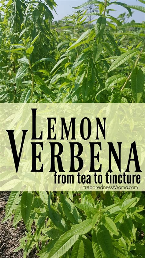growing  lemon verbena  preparednessmama