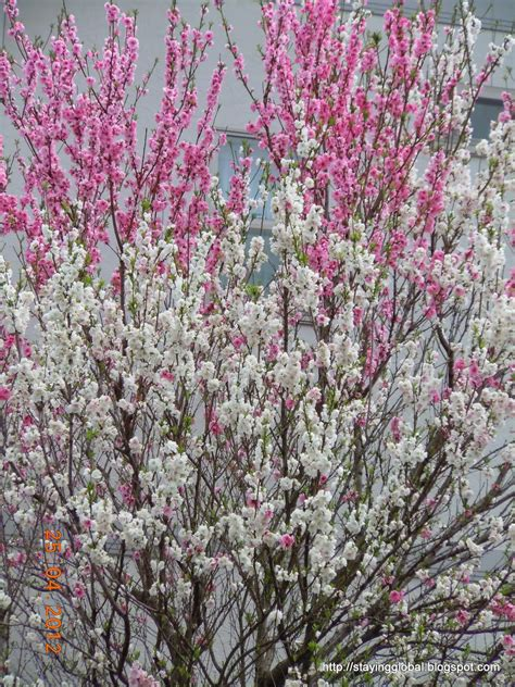 cherry tree kinds a japanese cherry blossom the different kinds