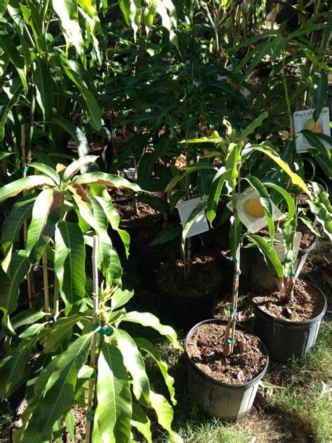 california tropical fruit trees shamus o leary s tropical fruit trees nurseries