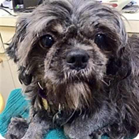 petfinder nj shih tzu oak ridge nj shih tzu mix meet oprah a for adoption