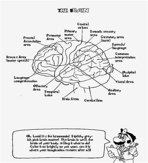 anatomy of the brain coloring book free coloring pages of anatomy