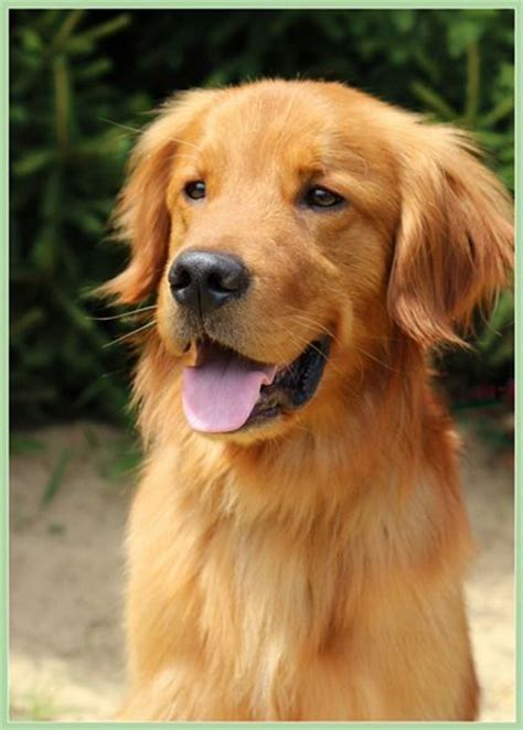 golden retriever rescue in ohio the world s catalog of ideas