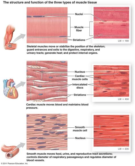 tissue diagram tissue a tissue composed of cells or fibers the