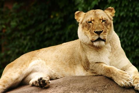 female lion images photos