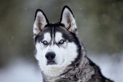siberian husky in the tuscan snow italian wedding